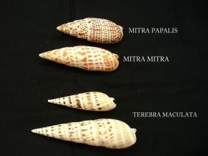 MITRA TEREBRA