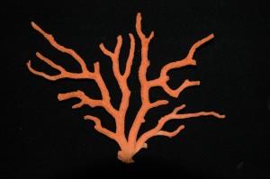 corallo (2)